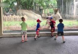 La leonessa vuole giocare ma i bambini urlano terrorizzati