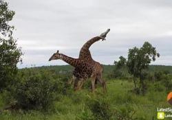 Lo spettacolare combattimento a colpi di collo tra due giraffe