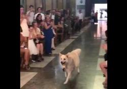 Palermo, la «damigella» è speciale: le fedi in chiesa agli sposi le porta il cane