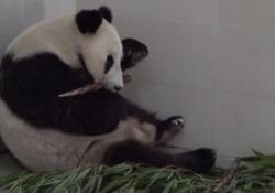 Partorisce in età avanzata, a 23 anni: un record per mamma panda