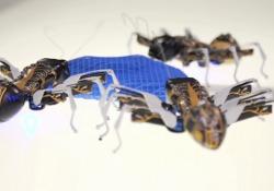 Stessa anatomia, stessa cooperazione: le formiche diventano robot