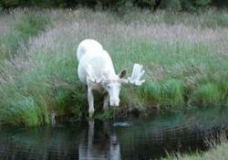 Svezia, il video del rarissimo alce bianco