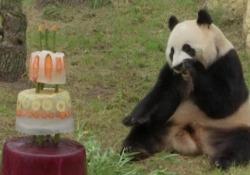 Una torta di ghiaccio per festeggiare il compleanno dei panda