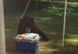 Usa, l'orso entra in giardino e mangia tutta la torta di compleanno