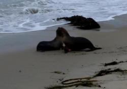 Usa, leoni marini rimessi in libertà: il bacio prima di entrare nell'Oceano