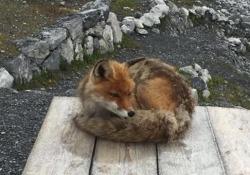 Valtellina, l'incontro dell'alpinista al rifugio: la volpe (socievole) si mette in posa