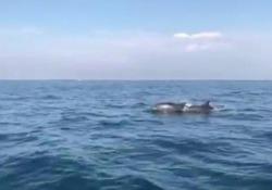 Viareggio, lo spettacolo dei delfini che giocano appena fuori dal porto