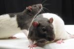 Topi paralizzati tornano a camminare grazie alle staminali