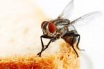 Sulle zampe delle mosche oltre 300 batteri, e in citta' sono piu' sporche