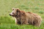 Crolla il mito dello Yeti, ossa e peli appartengono agli orsi