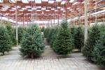 Alberi di Natale, si cambia: adesso piace quello vero, vendite in aumento