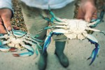 Granchio blu nel Mediterraneo, strage di larve di gamberoni