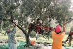 Ladri di olive fermati sulla «A18», stavano saccheggiando un camion