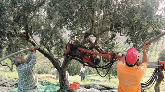 ladri di olive, Messina, Cronaca