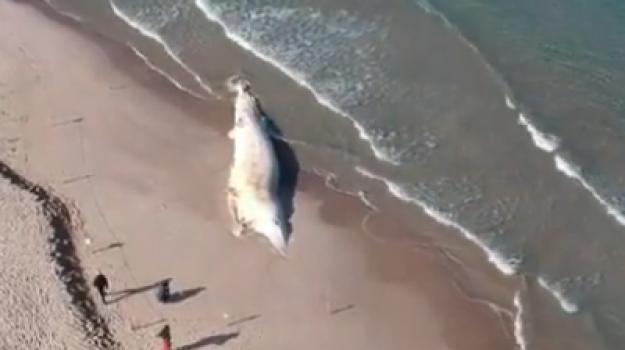 balena spiaggia Platamona, balena spiaggiata a sassari, balena valentino, Sicilia, Società
