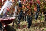 Con il clima cambia anche il vino, serviranno vitigni diversi