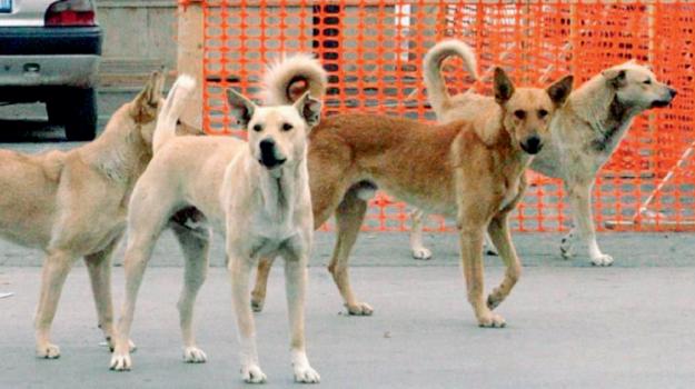 aggressione cani randagi a sciacca, Mauro Tirnetta, Agrigento, Cronaca