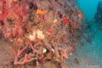 Trovato corallo nella baia di Nicotera