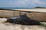 Vittima del degrado delle coste, a un passo dall'estinzione raro delfino africano