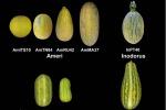 Il melone nuragico, non dolce e dalla forma allungata