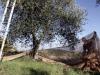 Furti di olive a Sciacca, i produttori chiedono più controlli del territorio
