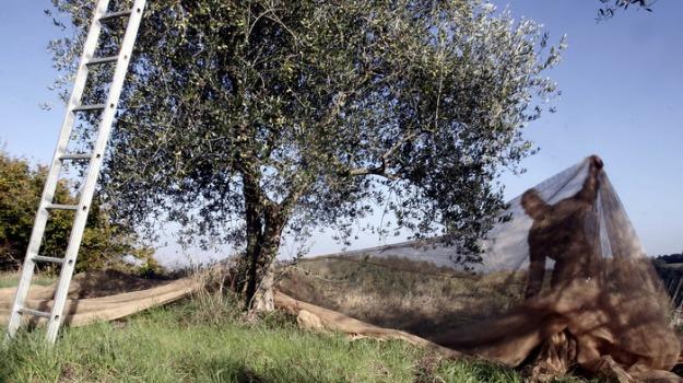 Furti di olive a Sciacca, i produttori chiedono più controlli del territorio - Giornale di Sicilia
