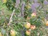 Crolla la raccolta di mele in Alto Adige