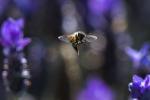 Api da miele impollinatori chiave per gli habitat naturali