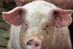 """A """"Pig"""" macellai rinnovano rito del porco per sfida chef"""