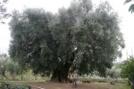 Tre paesaggi olivicoli entrano nel Registro Paesaggio rurale