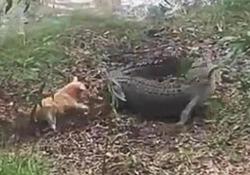 «Adesso chi comanda qui?» il cagnolino coraggioso attacca il coccodrillo che scappa