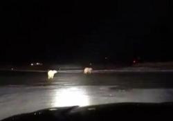 Alaska, la sorpresa sulla pista dell'aeroporto: due orsi affamati a caccia di cibo