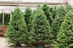Gli alberi di Natale di Messina saranno piantati in boschi e giardini