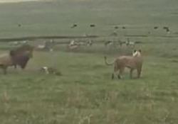 Le immagini riprese durante un safari in Tanzania