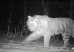 Immagini all'infrarosso mostrano uno dei 27 esemplari presenti nella Riserva Naturale di Tianqiaoling