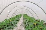 Piante di marijuana tra le zucchine, arrestato a Licata