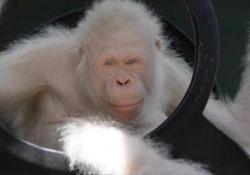 Ecco Alba, l'unico esemplare al mondo di orango albino