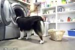Fa il bucato, yoga con la sua padrone e pulisce il pavimento: è 'Secret', il cane tuttofare
