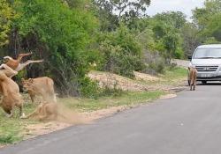 Il cucciolo di antilope prova a saltare il gruppo di leoni, ma finisce malissimo
