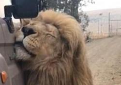 Il leone si strofina sulla jeep durante il safari, poi il colpo di scena