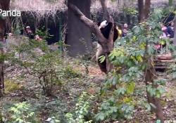L'animale cerca di arrampicarsi ma il ramo non regge il suo peso