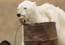 L'orso polare che muore di fame per il riscaldamento globale