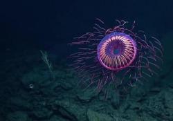 La rara medusa che sembra un fuoco d'artificio sott'acqua