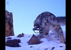 Leopardo delle nevi con una zampa rimasta in una trappola: il video che commuove