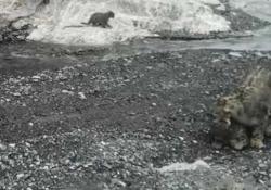 Mamma leopardo delle nevi aiuta i suoi tre cuccioli ad attraversare un fiume