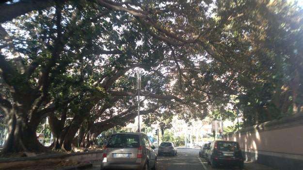 Alberi ad alto fusto a rischio a Catania, l'allarme di un consigliere comunale