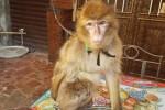 Scimmia rubata a un bambino malato a Catania: ritrovata, è stata restituita
