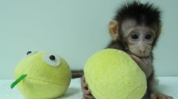 scimmiette clonate, Sicilia, Società
