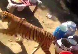 Tigre irrompe durante banchetto di nozze, urla e panico