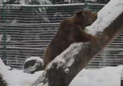 Ucraina, l'orso gioca con la neve dopo 20 anni in gabbia